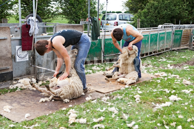 686915-shearing-sheep-at-ashmore-in-dorset.jpeg